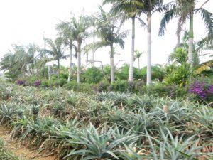 沖縄ナゴパイナップルパーク園内