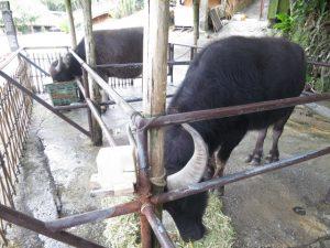 沖縄琉球村水牛