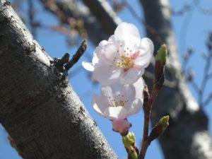 りょう花桜咲く