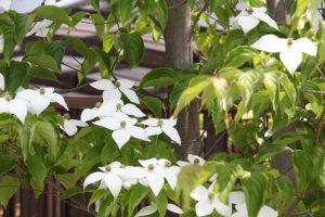 リーフⅤ前ヤマボウシ開花