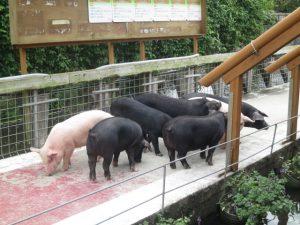 沖縄の観光のアグー村の豚