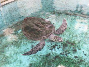 土佐清水の足摺海洋館のウミガメ