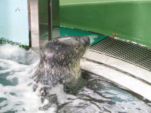 土佐清水の足摺海洋館のアザラシ