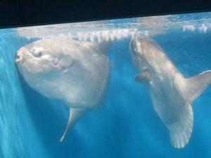 土佐清水の足摺海洋館のマンボウ