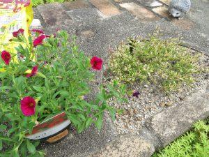 2020夏花壇の不調な花入れ替え1