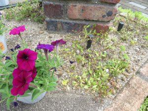 2020夏花壇の不調な花入れ替え2