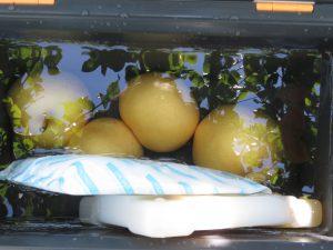 渡部なし園の梨を冷やす